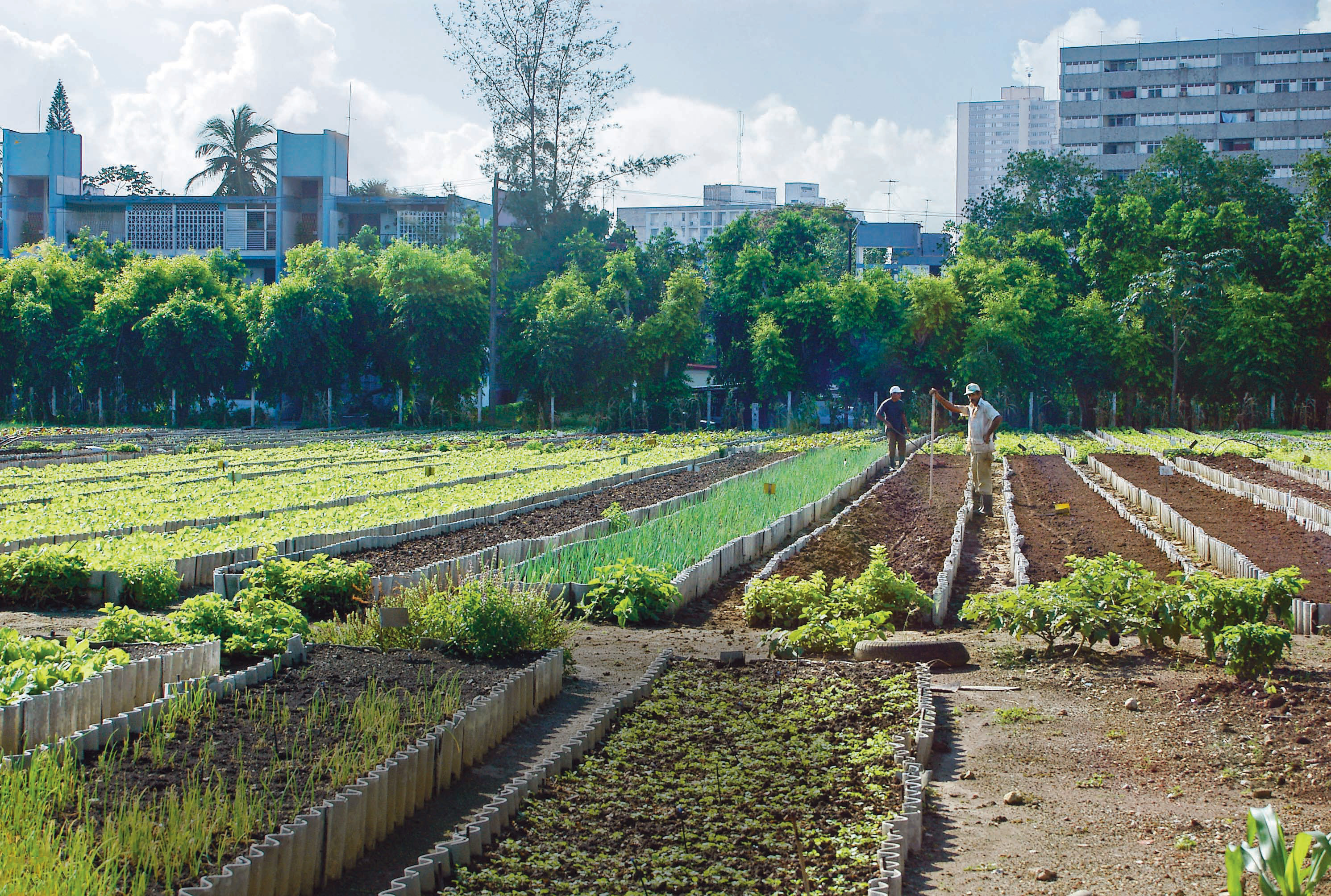 Urban Agriculture In Cuba 2004 John M Morgan From The